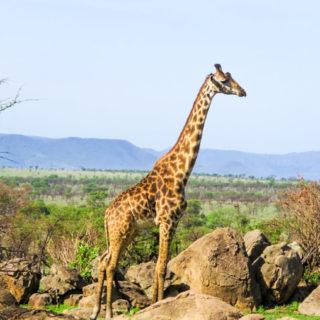 Safari Montage: Four Seasons Serengeti